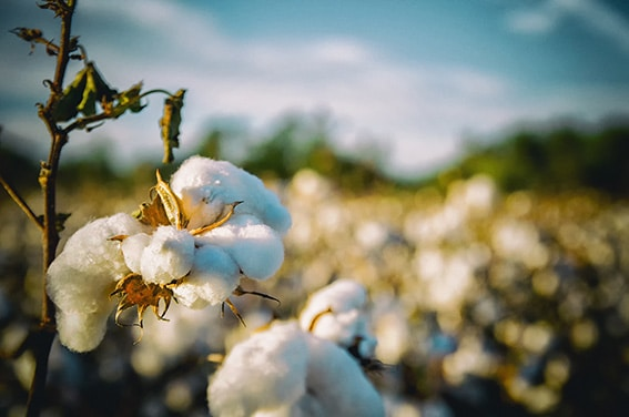 cotton field sustainability