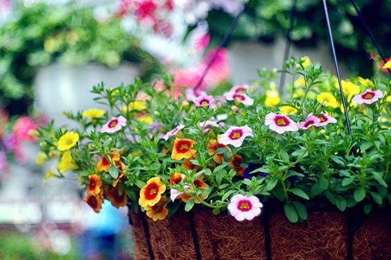 Hanging Basket of Flowers, cocoliner